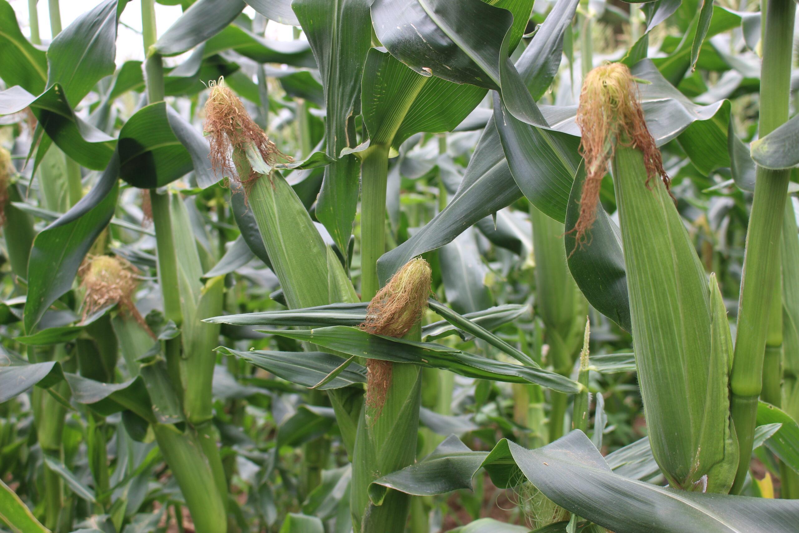 とうもろこし収穫始まります。
